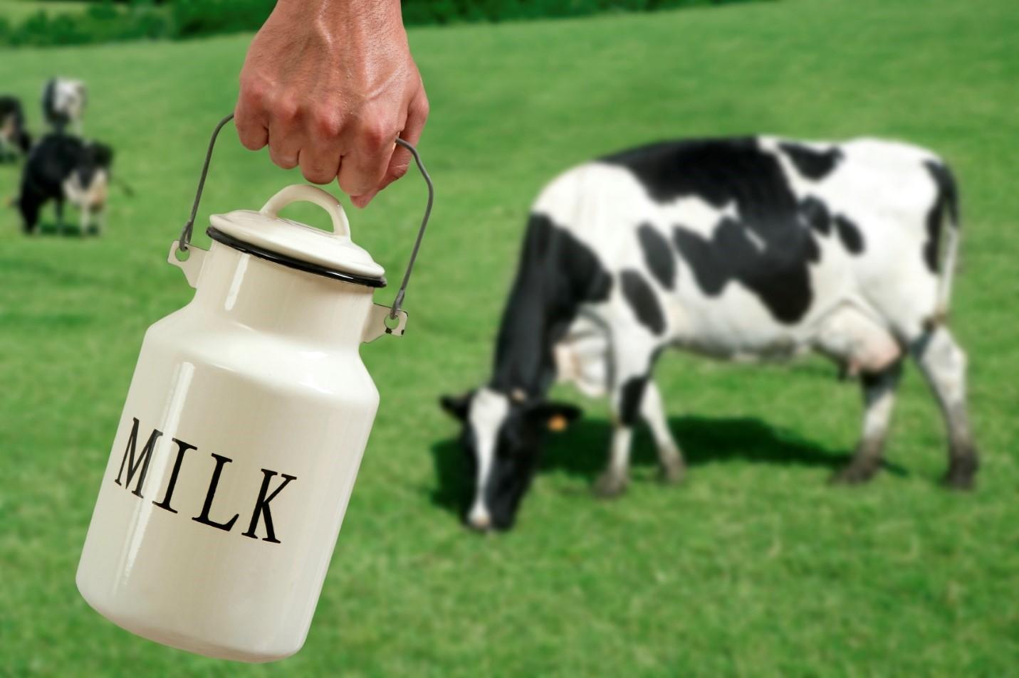 Berapa Jumlah Susu Terbanyak yang bisa dihasilkan seekor sapi?