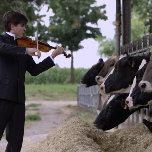 Benarkah Sapi Bisa Menghasilkan Lebih Banyak Susu Bila Diperdengarkan Musik?