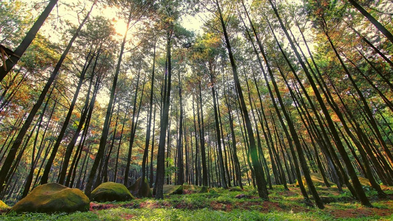 Jangan Ketinggalan! Main Dong Ke Wisata Hutan Pinus Semeru di Malang