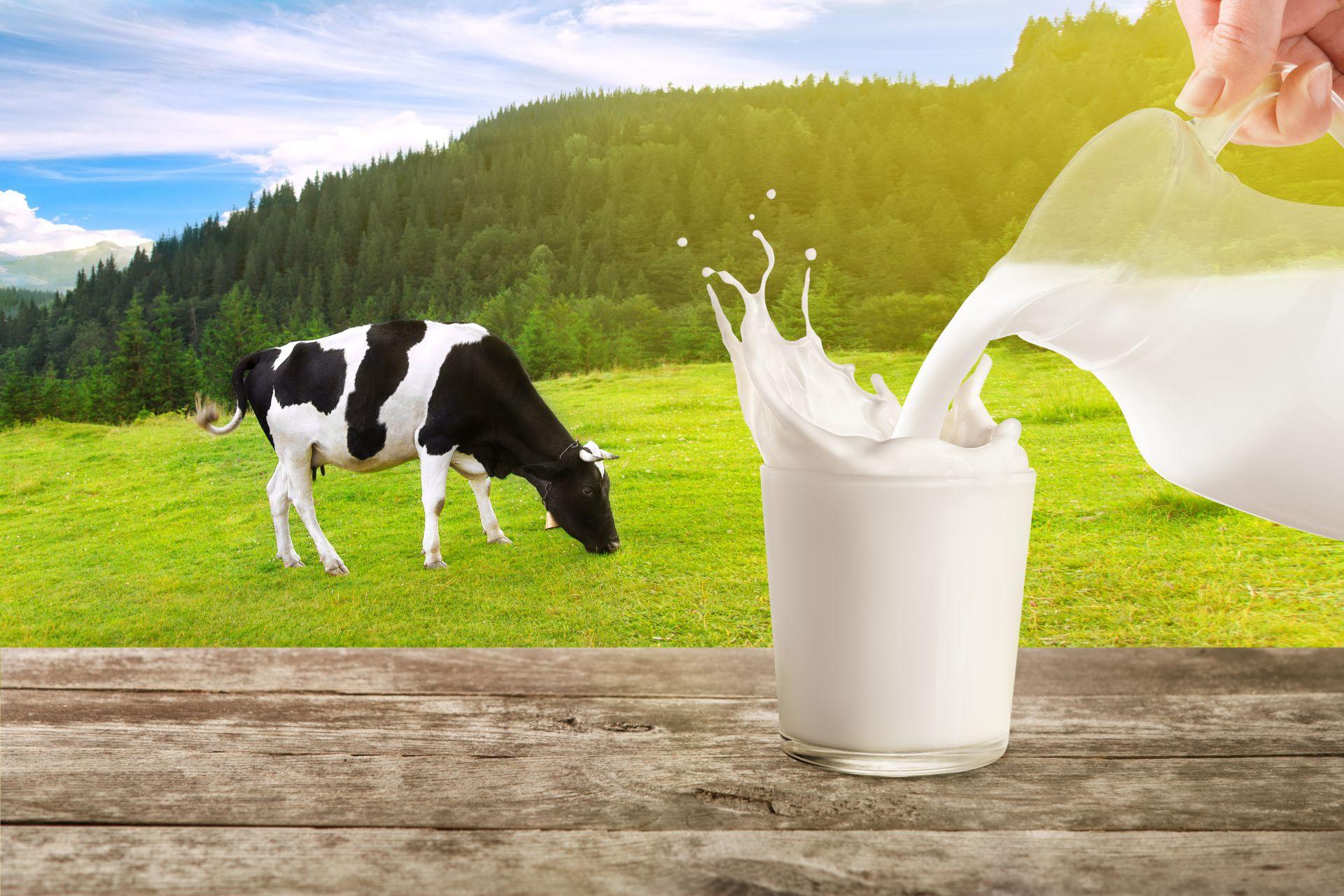 Kelebihan Susu Sapi Holstein dengan Susu Sapi Jersey